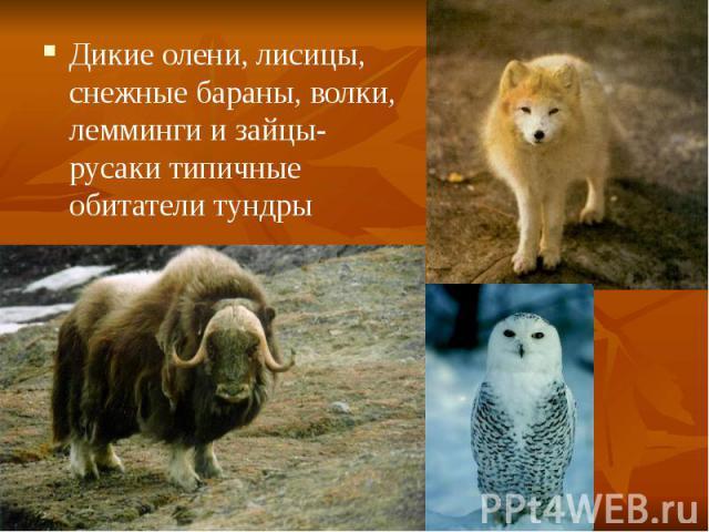Дикие олени, лисицы, снежные бараны, волки, лемминги и зайцы-русаки типичные обитатели тундры Дикие олени, лисицы, снежные бараны, волки, лемминги и зайцы-русаки типичные обитатели тундры