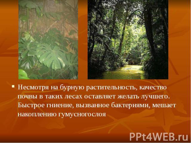Несмотря на бурную растительность, качество почвы в таких лесах оставляет желать лучшего. Быстрое гниение, вызванное бактериями, мешает накоплению гумусногослоя Несмотря на бурную растительность, качество почвы в таких лесах оставляет желать лучшего…