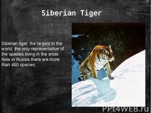 Siberian TigerSiberian tiger, the largest in the world, the only representative
