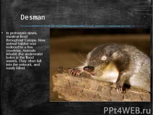 DesmanIn prehistoric times, muskrat lived throughout Europe. Now animal habitat