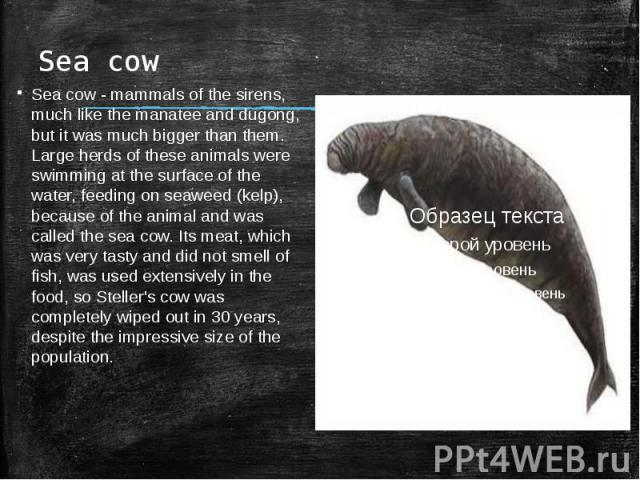 Sea cowSea cow - mammals of the sirens, much like the manatee and dugong, but it was much bigger than them. Large herds of these animals were swimming at the surface of the water, feeding on seaweed (kelp), because of the animal and was called the s…