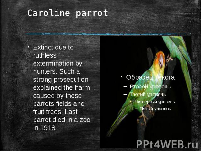 Caroline parrot Extinct due to ruthless extermination by hunters. Such a strong prosecution explained the harm caused by these parrots fields and fruit trees. Last parrot died in a zoo in 1918.