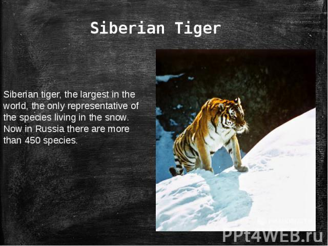 Siberian TigerSiberian tiger, the largest in the world, the only representative of the species living in the snow. Now in Russia there are more than 450 species.
