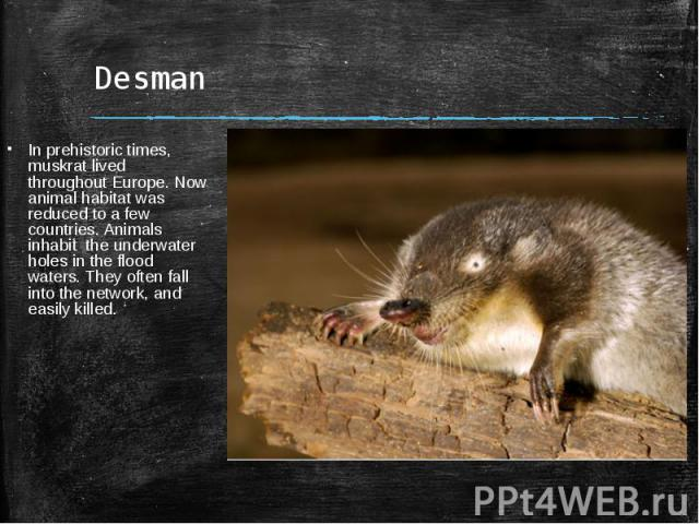 DesmanIn prehistoric times, muskrat lived throughout Europe. Now animal habitat was reduced to a few countries. Animals inhabit the underwater holes in the flood waters. They often fall into the network, and easily killed.