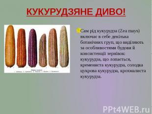 КУКУРУДЗЯНЕ ДИВО! Сам рід кукурудза (Zea mays) включає в себе декілька ботанічни