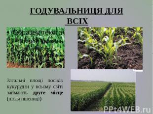 Загальні площі посівів кукурудзи у всьому світі займають друге місце (після пшен