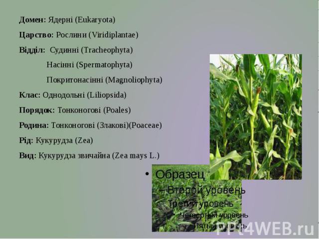 Домен: Ядерні (Eukaryota) Царство: Рослини (Viridiplantae) Відділ: Судинні (Tracheophyta) Насінні (Spermatophyta) Покритонасінні (Magnoliophyta) Клас: Однодольні (Liliopsida) Порядок: Тонконогові (Poales) Родина: Тонконогові (Злакові)(Poaceae) Рід: …