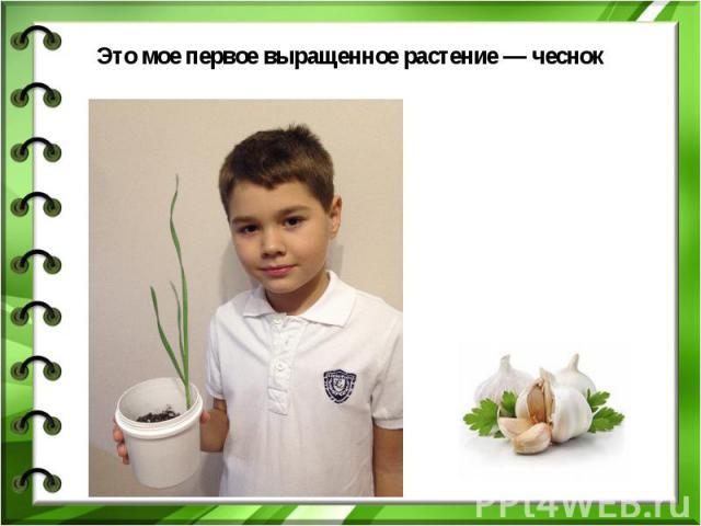 Это мое первое выращенное растение — чеснок