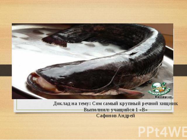Доклад на тему: Сом самый крупный речной хищник Выполнил: учащийся 1 «В» Сафонов Андрей