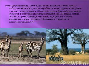 Зебры дружны между собой. Когда гиены пытаются отбить какого-нибудь малыша, мать