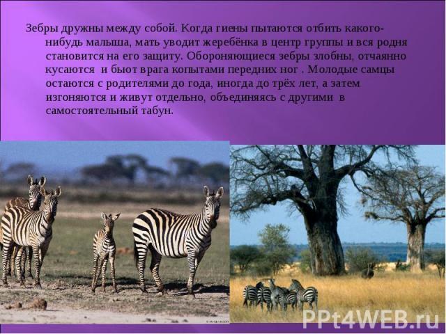 Зебры дружны между собой. Когда гиены пытаются отбить какого-нибудь малыша, мать уводит жеребёнка в центр группы и вся родня становится на его защиту. Обороняющиеся зебры злобны, отчаянно кусаются и бьют врага копытами передних ног . Молодые самцы о…