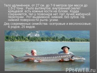 Тело удлинённое, от 27 см. до 7-9 метров при массе до 1,5-2 тонн . Рыло вытянуто