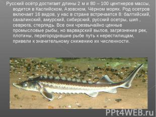 Русский осётр достигает длины 2 м и 80 – 100 центнеров массы, водится в Каспийск