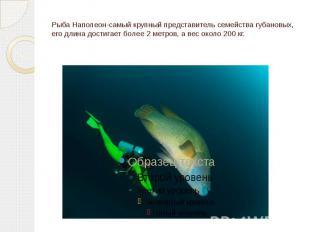 Рыба Наполеон-самый крупный представитель семейства губановых, его длина достига