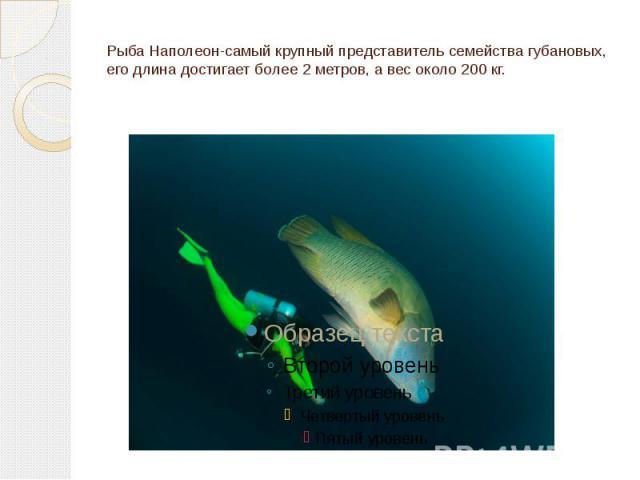 Рыба Наполеон-самый крупный представитель семейства губановых, его длина достигает более 2 метров, а вес около 200 кг.