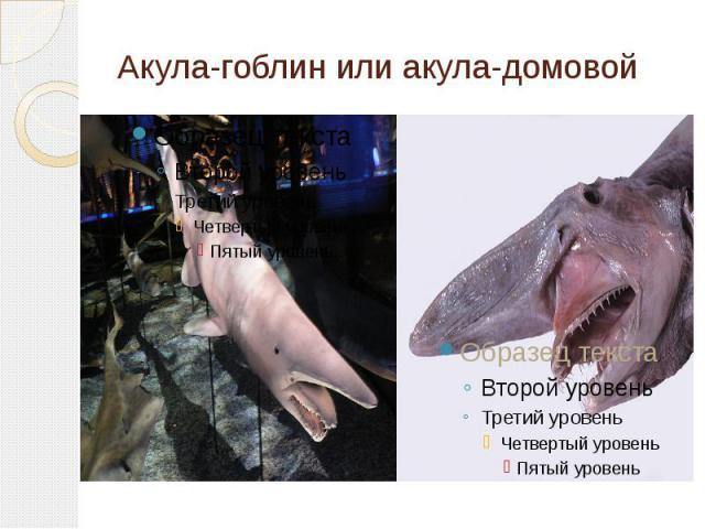 Акула-гоблин или акула-домовой