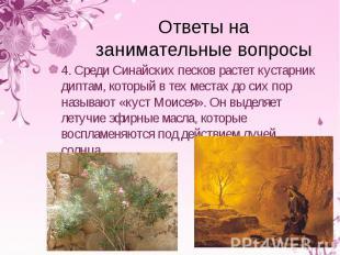 4. Среди Синайских песков растет кустарник диптам, который в тех местах до сих п