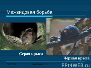 Межвидовая борьба Серая крысаЧёрная крыса