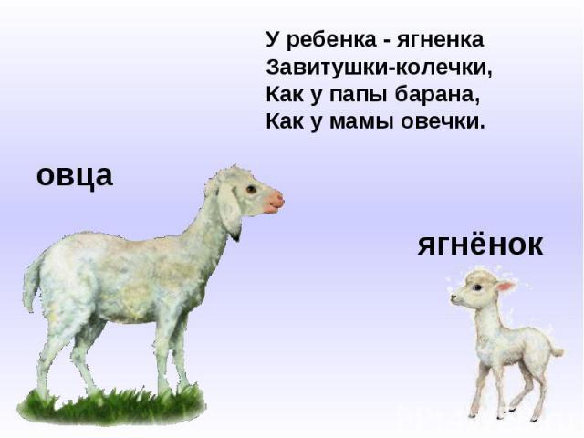 У ребенка - ягненкаЗавитушки-колечки,Как у папы барана,Как у мамы овечки.