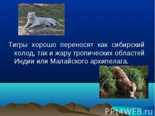 Тигры хорошо переносят как сибирский холод, так и жару тропических областей Инди