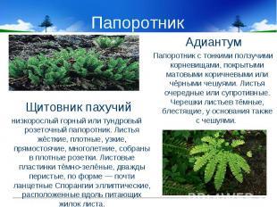 Папоротник Щитовник пахучийнизкорослый горный или тундровый розеточный папоротни