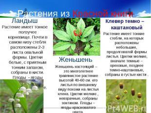 Растения из Красной книги ЛандышРастение имеет тонкое ползучее корневище. Почти