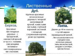 Лиственные Береза.Красивые листопадные деревья с прозрачной, сквозистой кроной и
