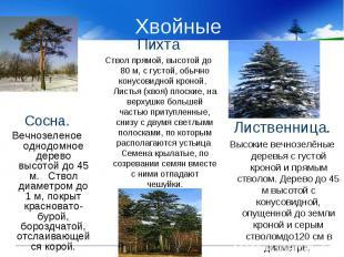 Хвойные Сосна.Вечнозеленое однодомное дерево высотой до 45 м. Ствол диаметром до