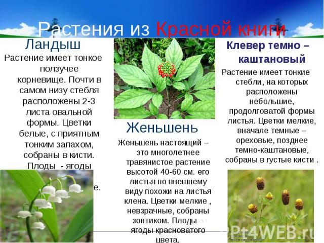 Растения из Красной книги ЛандышРастение имеет тонкое ползучее корневище. Почти в самом низу стебля расположены 2-3 листа овальной формы. Цветки белые, с приятным тонким запахом, собраны в кисти. Плоды - ягоды алого цвета. Цветет в июне – июле.Женьш…