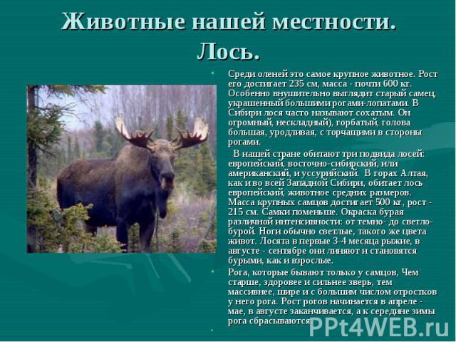 Животные России класс презентация к уроку Окружающий мир Животные нашей местности Лось Среди оленей это самое крупное животное Рост его достигает