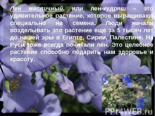 Лен масличный, или лен-кудряш – это удивительное растение, которое выращивают сп