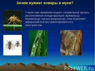 Зачем жужжат комары и мухи? У мухи звук жужжания издают специальные органы, расп