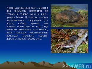 У норных животных (крот , мыши и др.) вибриссы находятся не только на голове, но