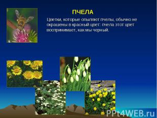 ПЧЕЛА Цветки, которые опыляют пчелы, обычно не окрашены в красный цвет: пчела эт