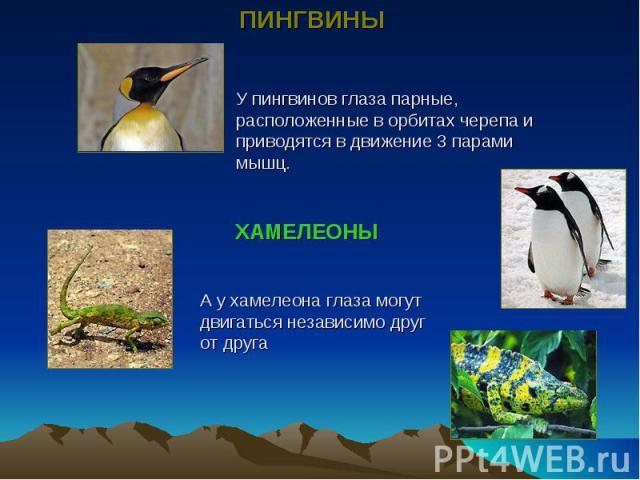 У пингвинов глаза парные, расположенные в орбитах черепа и приводятся в движение 3 парами мышц.А у хамелеона глаза могут двигаться независимо друг от друга