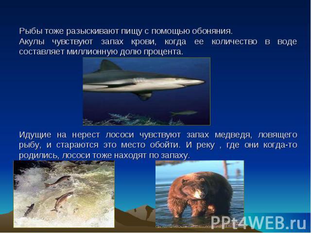 Рыбы тоже разыскивают пищу с помощью обоняния.Акулы чувствуют запах крови, когда ее количество в воде составляет миллионную долю процента.Идущие на нерест лососи чувствуют запах медведя, ловящего рыбу, и стараются это место обойти. И реку , где они …