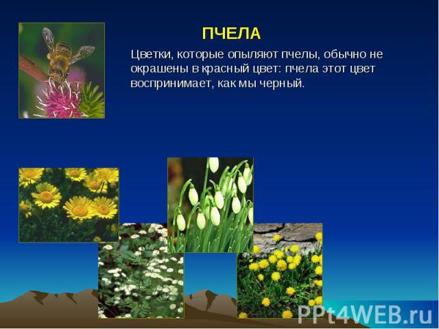 ПЧЕЛА Цветки, которые опыляют пчелы, обычно не окрашены в красный цвет: пчела этот цвет воспринимает, как мы черный.