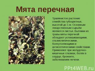 Мята перечная Травянистое растение семейства губоцветных, высотой до 1 м. Основн