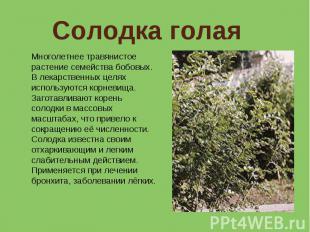 Солодка голая Многолетнее травянистое растение семейства бобовых. В лекарственны