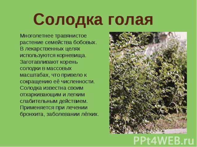 Солодка голая Многолетнее травянистое растение семейства бобовых. В лекарственных целях используются корневища. Заготавливают корень солодки в массовых масштабах, что привело к сокращению её численности. Солодка известна своим отхаркивающим и легким…