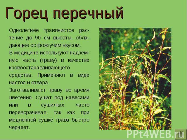 Горец перечный Однолетнее травянистое рас-тение до 90 см высоты, обла-дающее острожгучим вкусом. В медицине используют надзем-ную часть (траву) в качестве кровоостанавливающего средства. Применяют в виде настоя и отвара.Заготавливают траву во время …