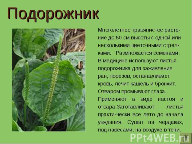 Подорожник Многолетнее травянистое расте-ние до 50 см высоты с одной или несколькими цветочными стрел-ками. Размножается семенами.В медицине используют листья подорожника для заживления ран, порезов, останавливает кровь, лечит кашель и бронхит. Отва…