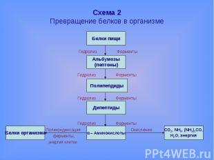 Схема 2Превращение белков в организме Гидролиз Ферменты Гидролиз Ферменты Гидрол