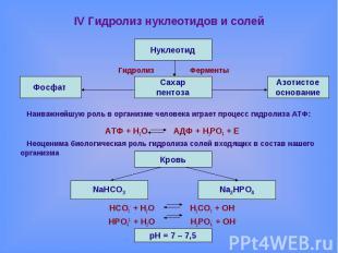 IV Гидролиз нуклеотидов и солей Гидролиз ФерментыНаиважнейшую роль в организме ч