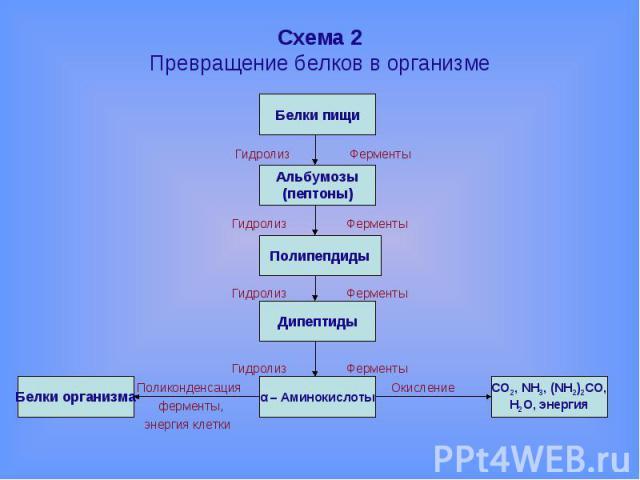 Схема 2Превращение белков в организме Гидролиз Ферменты Гидролиз Ферменты Гидролиз Ферменты Гидролиз Ферменты Поликонденсация Окисление ферменты, энергия клетки