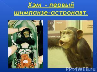 Хэм - первый шимпанзе-астронавт.