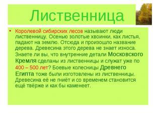 Лиственница Королевой сибирских лесов называют люди лиственницу. Осенью золотые