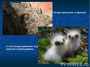 Гнездо трясогузки в мангалеА эти птенцы вывелись под капотом старой машины