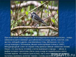 При всей своей «несолидности» и беззащитности белая трясогузка – птица символиче