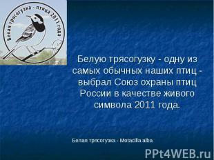 Белую трясогузку - одну из самых обычных наших птиц - выбрал Союз охраны птиц Ро